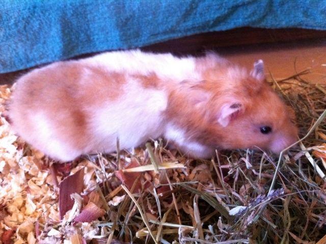 Hamster Kleinanzeigen Hamster Annoncen Hamster Inserate Hamster Anzeigenmarkt Hamster Marktplatz