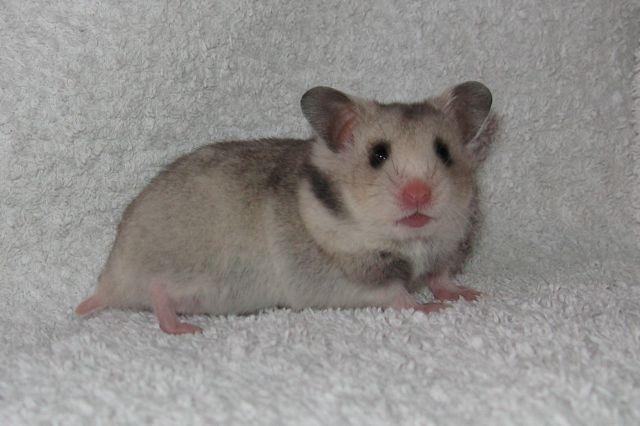 Hamster Kleinanzeigen Hamster Annoncen Hamster Inserate Hamster Anzeigenmarkt Hamster Marktplatz Seite 4